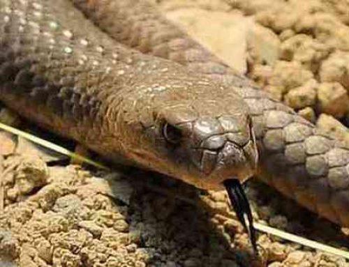 Brown Snake In Blocked Drain